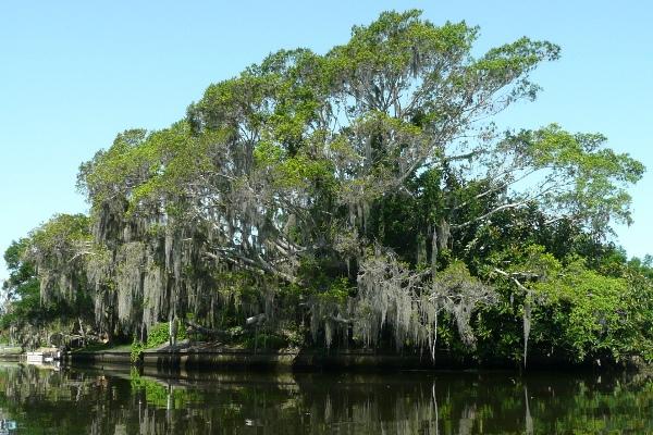 Oak over creek