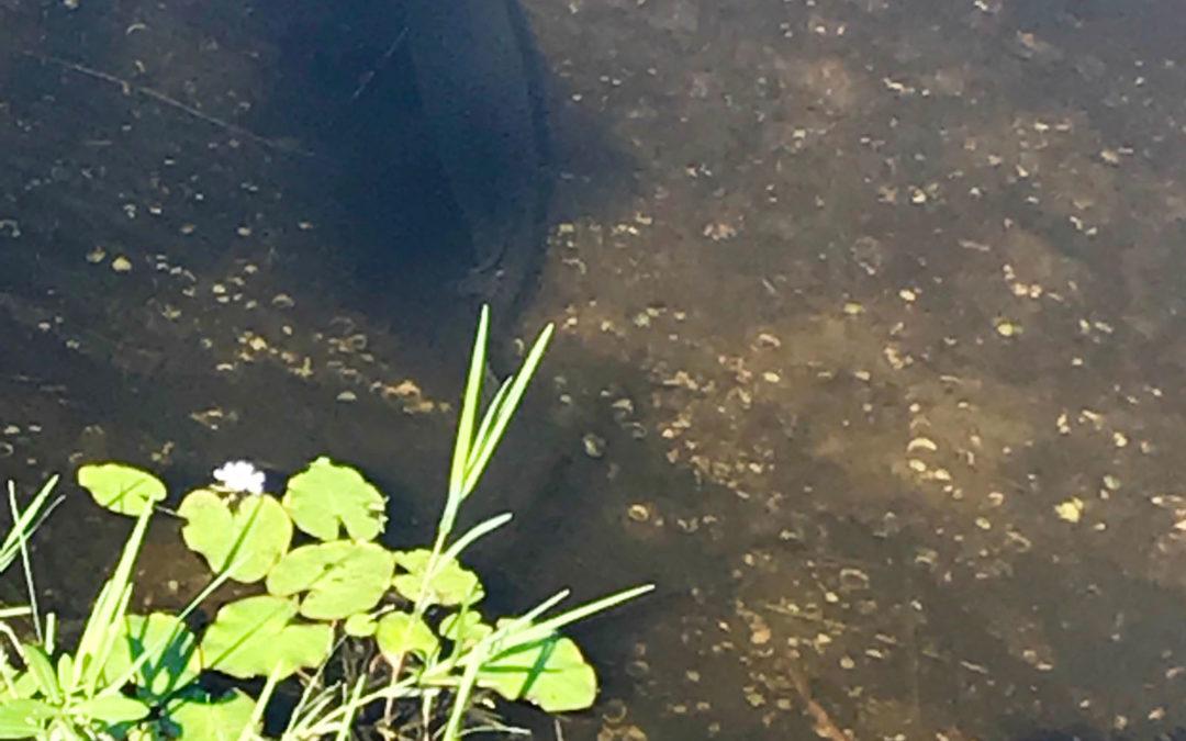 Alligator Gar in Phillippi Creek