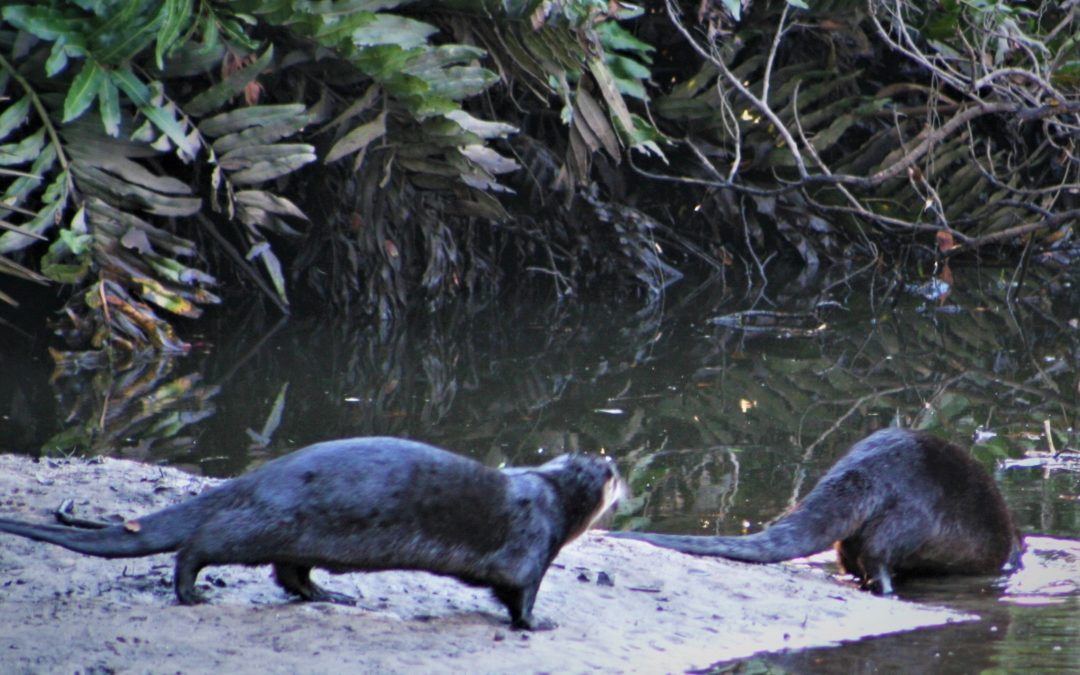Otters on the Creek
