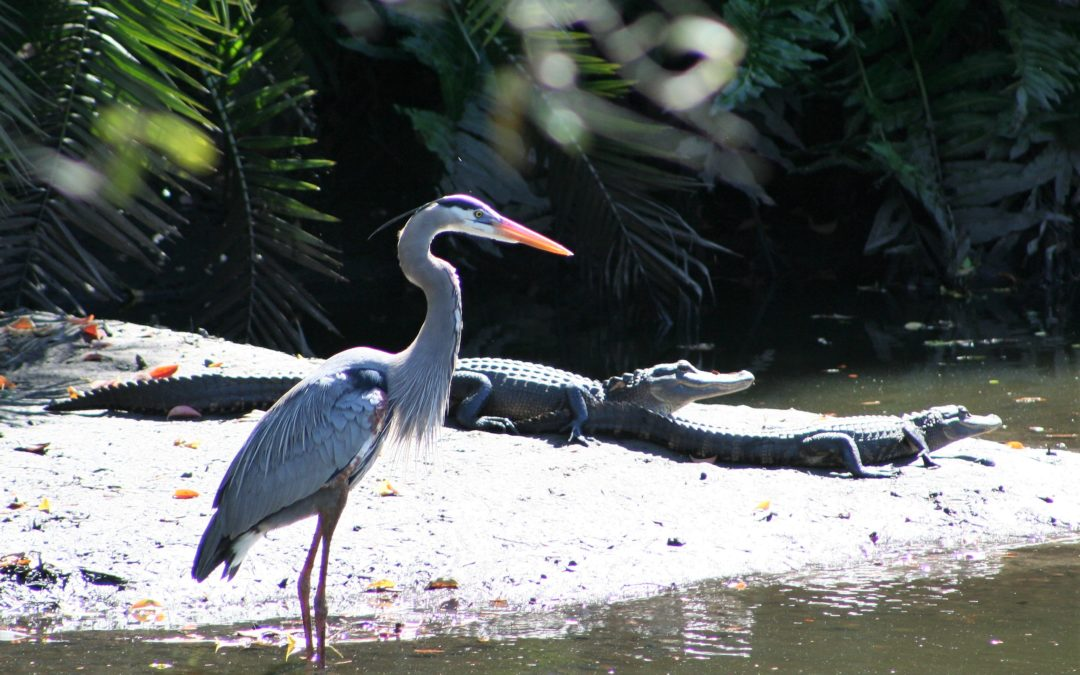 Gators & Gray Heron
