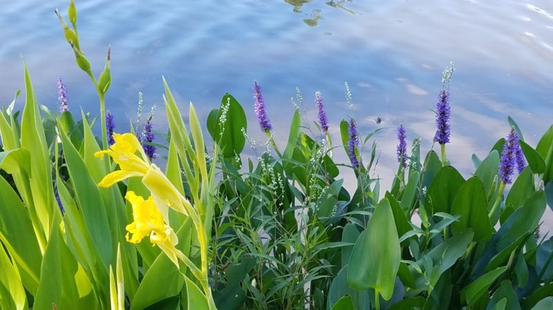 Golden canna, pickerelweed, and smartweed