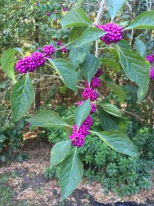 beautyberry Mary Derrick, UF IFAS Extension