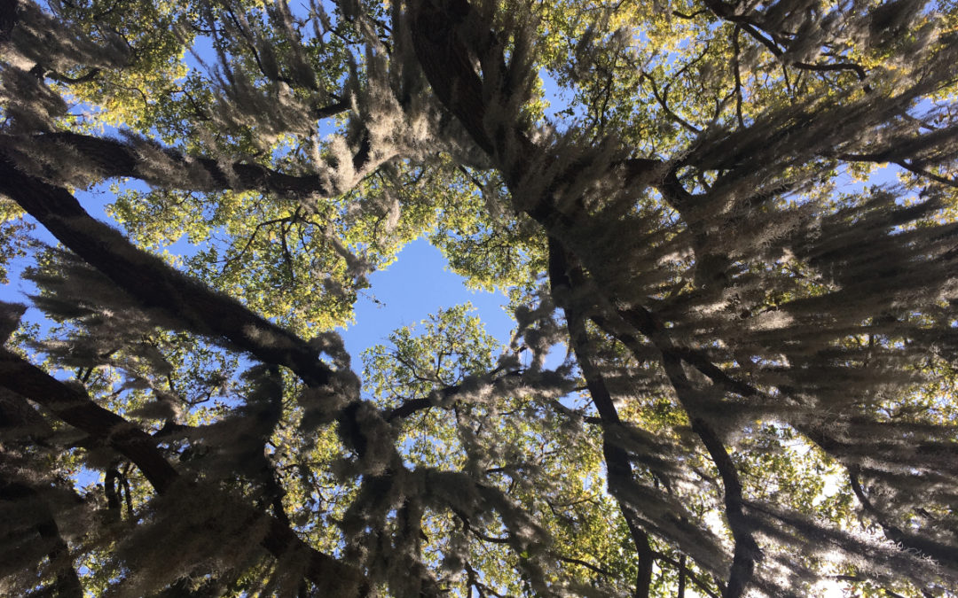 View of oak tree looking up from ground